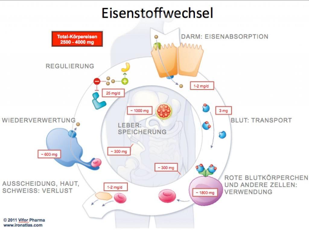 Eisenstoffwechsel - Eisen im Körper