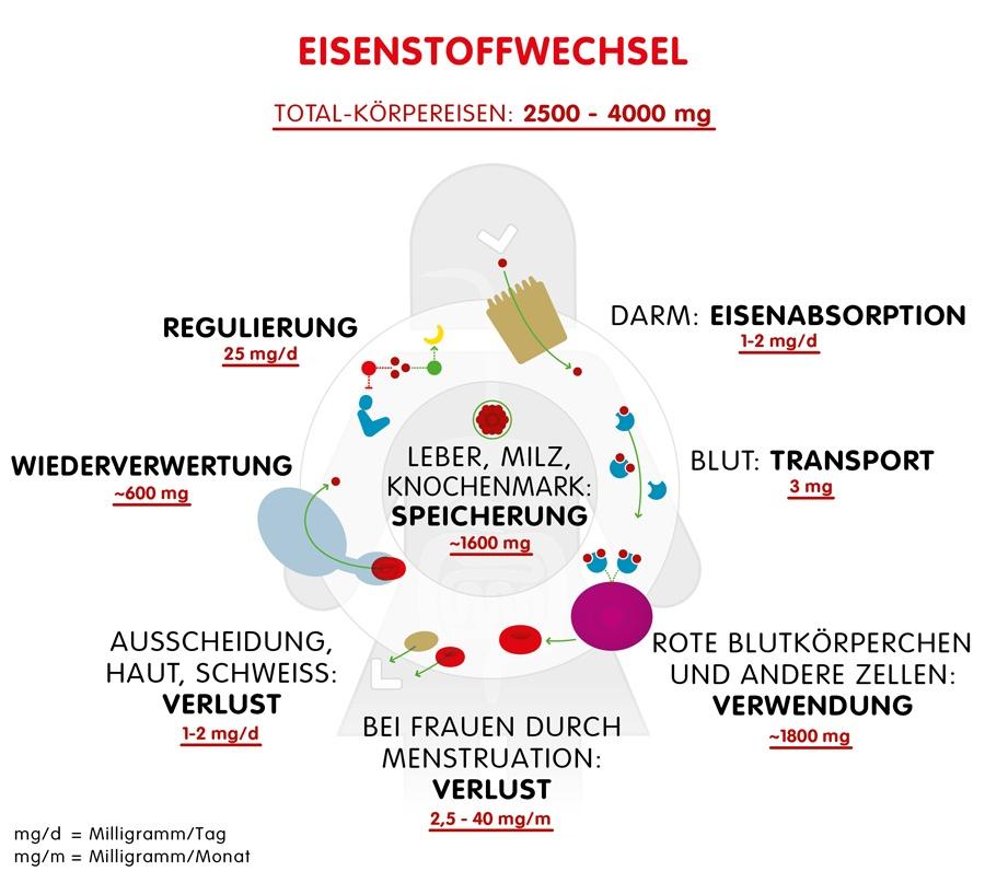 Infographik: Eisenstoffwechsel im Körper